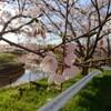 新潟市江南区、すご堀の桜並木2019