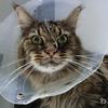 優しい老猫フサボン 腎不全から回復するかしないかの瀬戸際! 流動食を1日5回生活