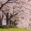 「満開の桜のトンネル」を撮ってきました!!『2019年の私の桜』その2