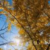 【秩父ミューズパーク】銀杏がきれいな公園