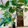 本当に満足感が高いふるさと納税は沖縄の観葉植物?