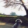 桜の季節のお散歩