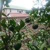 柚子豊作?