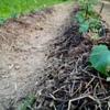 きゅうりの定植
