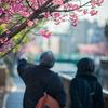 【194】江東区木場 運河に咲く河津桜
