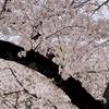桜の散策とマイナカード