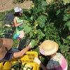 7/30(土)畑のお手入れと夏野菜収穫