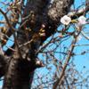 桜咲く当社の駐車場周り。わいもひそかに咲く。