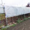 ミニトマト畝の支柱の撤去