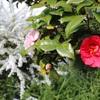 椿の咲くお寺。庭の花のことなど