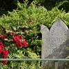 お墓の周りで咲く赤いバラ