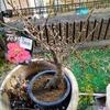 梅の盆栽 歳末玉手箱 飛ぶサンコウチョウ