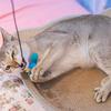 猫のイカ耳にどんな意味があるの? それは○○の感情を訴えていますよ。