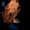 深海魚が水圧でつぶれない理由は?