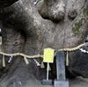大阪府最大のクスノキ。三島神社の薫蓋樟(くんがいしょう)は推定樹齢1000年以上【大阪府門真市三ツ島】