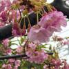 うつむく桜たち 03/03