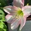 🌸アマリリス開花🌸