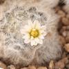 マミラリア「白星」の花が初めて咲いた