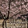 河津桜とメジロ 2016 2月