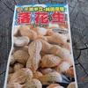 落花生の種 種蒔き Peanut seeds