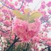 2018年春の桜と、源氏物語の和歌。