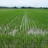大豆の圃場と苗箱の始末と畦畔の草刈りと前腕の痙攣と『サード』とタチアオイ