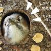 0409【巣穴から顔出す小鳥が可愛すぎた】コゲラ。激レア街中にカワセミ、魚を捕食。てんとう虫の交尾、桜にエナガ、キュウリグサ。鶴見川水系恩田川でコンデジ野鳥撮影 #コゲラ #カワセミ #身近な生き物語