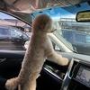 トイプードルのピース君と車でお出かけ!