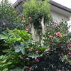 2011/11/24 サザンカ5分咲き
