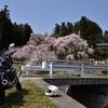 近所の桜、サクラ、さくら!!