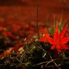 DP2 Merrill で撮る笠置山の敷き紅葉