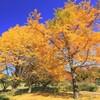 昭和記念公園へ黄葉を撮影