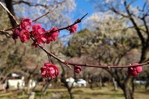 【行ったつもりシリーズ】「梅の名所」をサイクリング~谷保天満宮から青梅の旅
