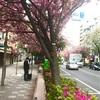 つつじが八重桜に