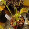 Dionaea 'G14 (Dirk Ventham's Giant)'