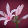 ようやく咲いた桃色:ダイヤモンドリリー