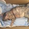 保護猫のムーアさんの妊娠③猫の出産準備。