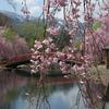 新潟・湯沢町 湯沢中央公園の桜🌸