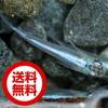 【送料無料】(メダカ)スーパー青幹之(みゆき)めだか / スーパー幹之メダカ(10尾) サイズ M〜L