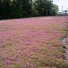 野木町 芝桜とルピナス