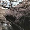 桜はまだ見られた