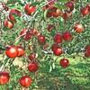 ⑤リンゴの木が持つ本来の力を引き出す