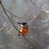 週末の鳥撮り[カワセミ][ジョウビタキ♂][シジュウカラ][トモエガモ♂]