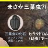 ヒラタドロムシの幼虫(三葉虫が想起される?!)