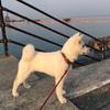 紀州犬 その未来を見つめて 熊対策犬