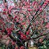 清澄庭園の緋寒桜