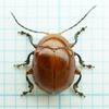 自宅周りで採集した虫たち(ハムシ科)