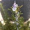ローズマリー マリンブルーの花