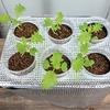 水耕栽培で「わさび菜」を育てています。さくっと1ヶ月くらいで収穫したいです