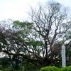 大楠の枝から枝へ青あらし